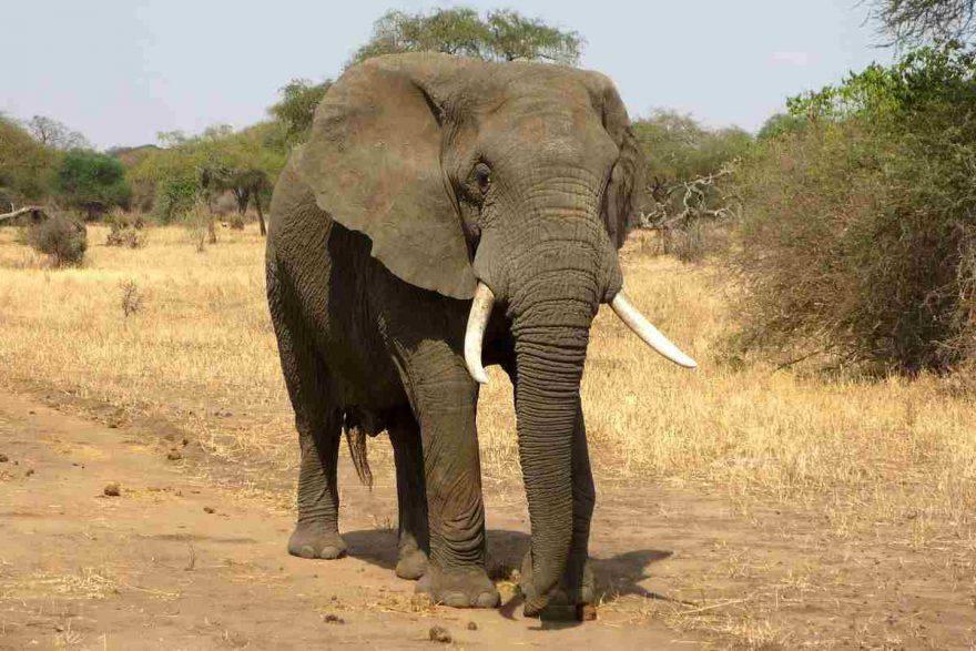 Elefante caratteristiche