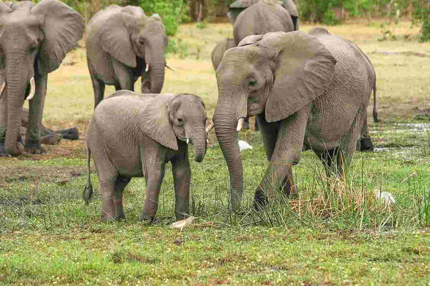 come nascono i cuccioli di elefante