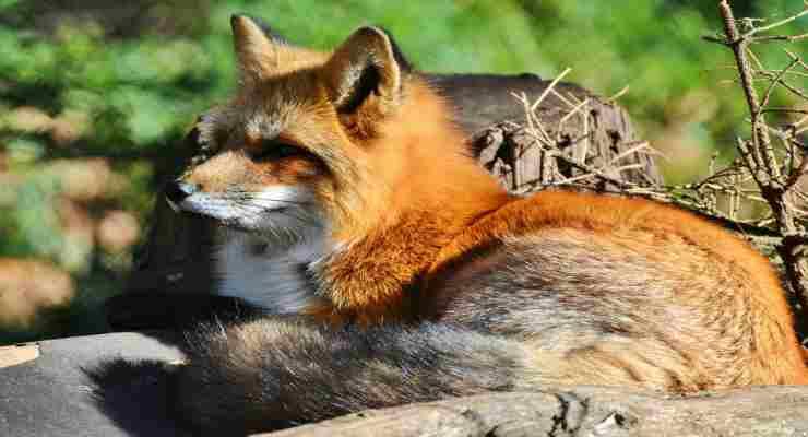La volpe in attesa di andare dalla sua amica (Foto Pixabay)