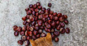 gatto può mangiare castagne