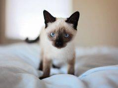 gatto fa bisogni su letto