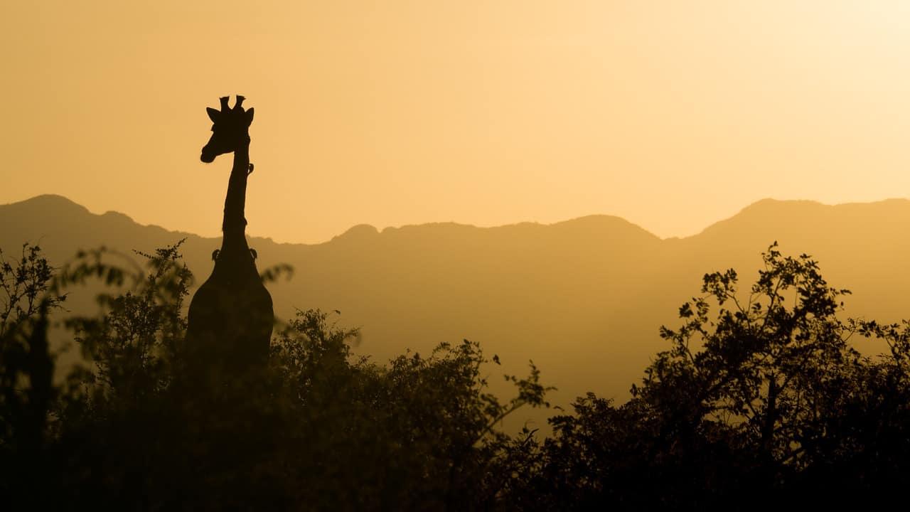 Giraffa al tramonto (Foto Pixabay)