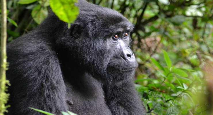 Il gorilla della montagna (Fonte Pixabay)