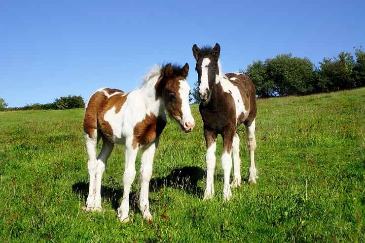 cavalli pezzati razze