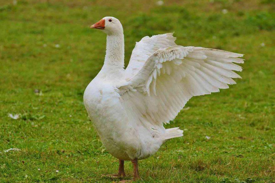 oca bianca