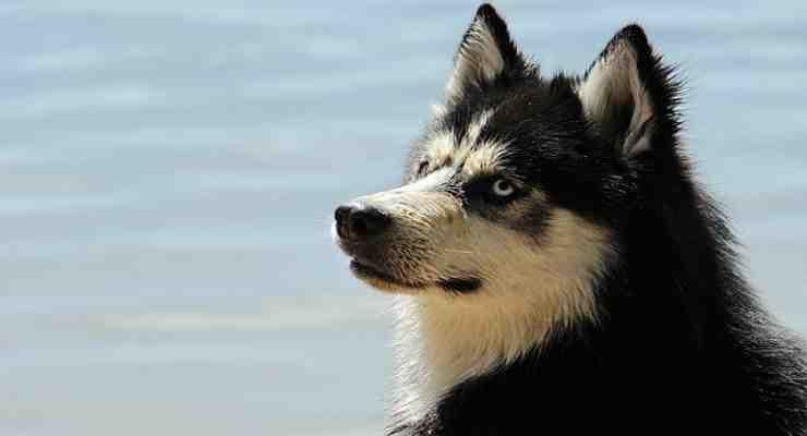 La bellezza dell'Husky Malamute (Foto Pixabay)