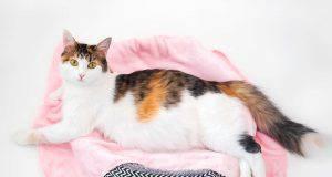 gravidanza gatto sintomi