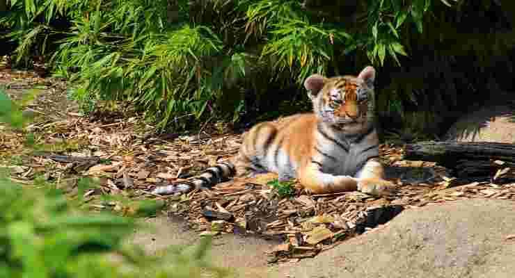 Tigre del Bengala (Foto Istock)
