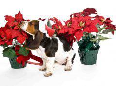 Il cane ha mangiato la stella di Natale