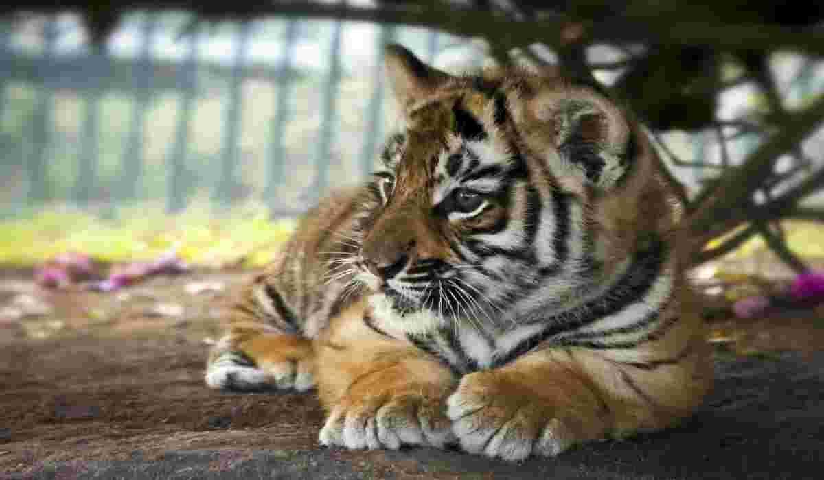Un cucciolo di tigre (Foto Istock)