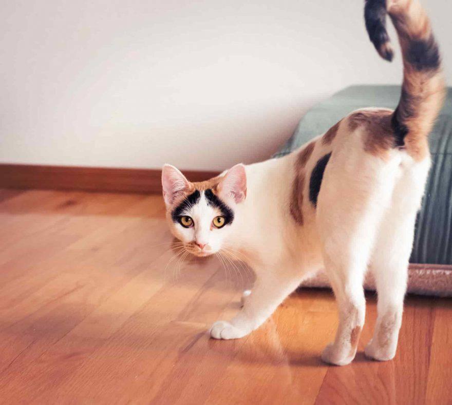 gatto alza coda