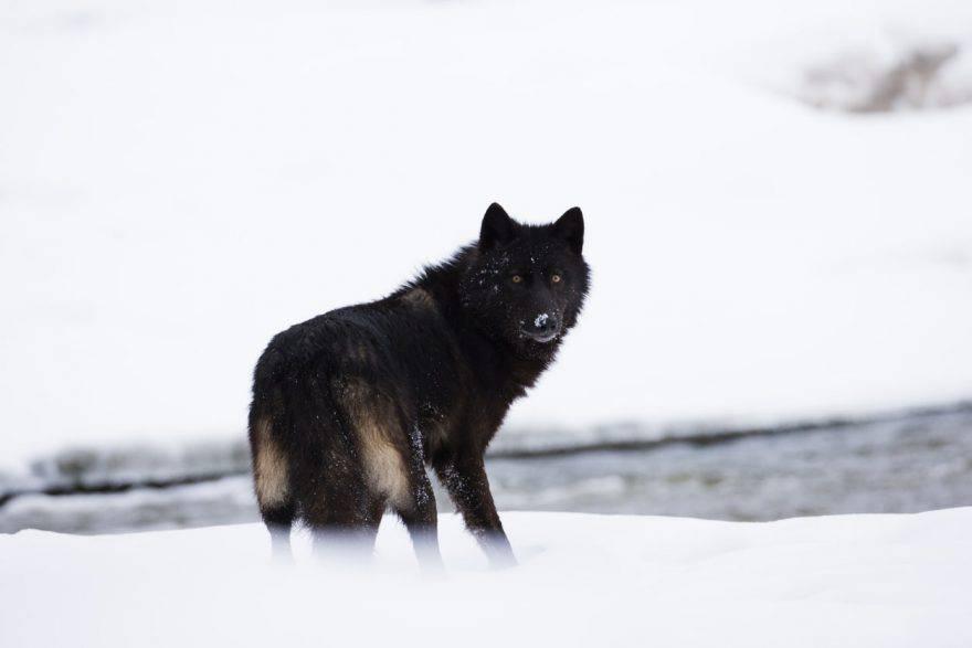 lupo nero