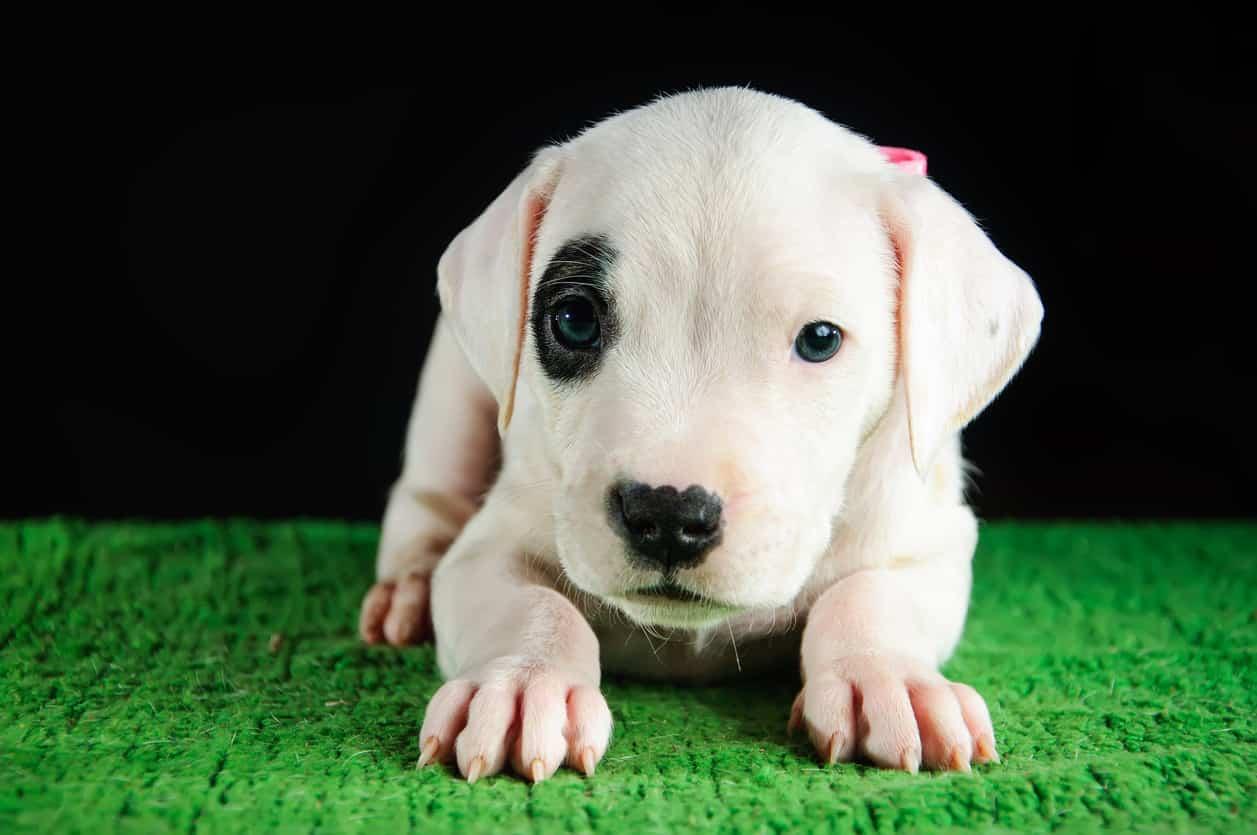 cani di origine latinoamericana