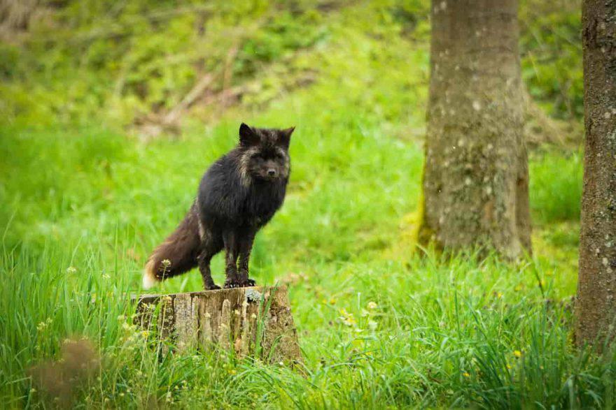 animali neri volpe
