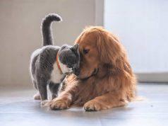 gatti che vanno d'accordo con cani