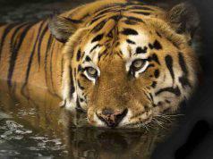 Lo sguardo misterioso della tigre (Foto Pixabay)