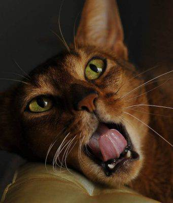 iperestesia gatto