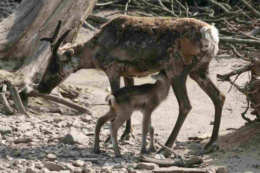 renna e cucciolo