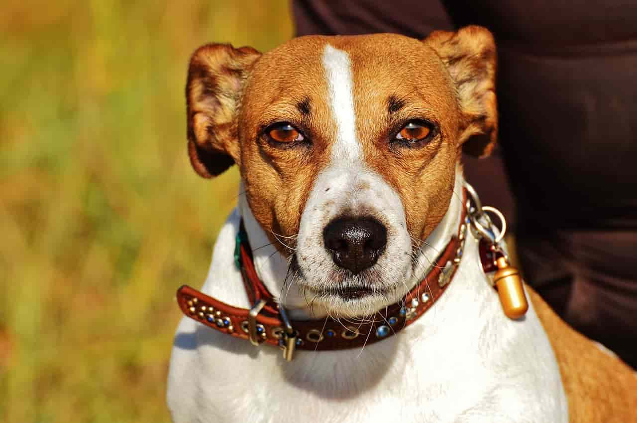 Jack Russell in primo piano (Foto Pixabay)