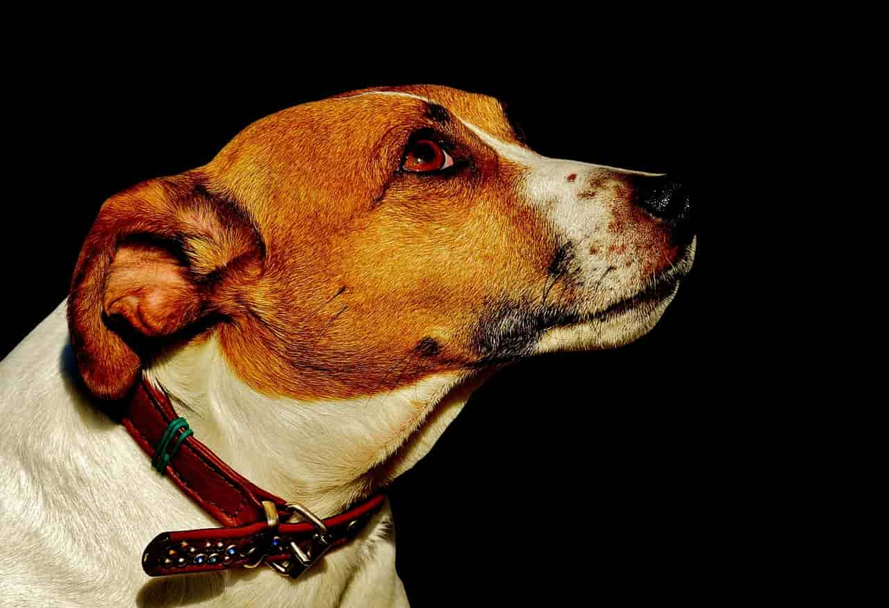 Jack Russell (Foto Pixabay)