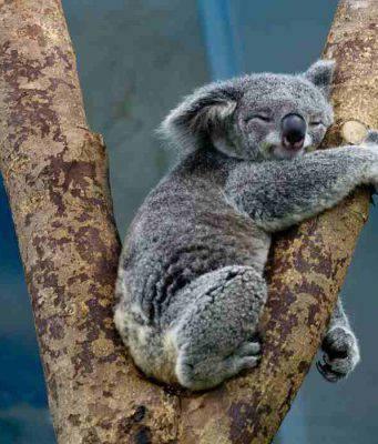 Il koala aggrappato alla vita (Fonte Pixabay)