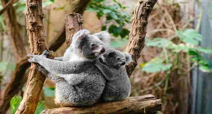 I koala in allerta per gli incendi (Foto Pixabay)