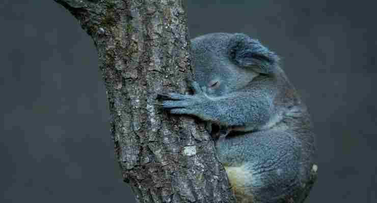 La disperazione dei koala in un'immagine (Foto Pixabay)