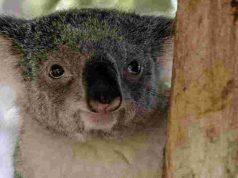 Tutta la dolcezza della koala Kate (Foto Pixabay)