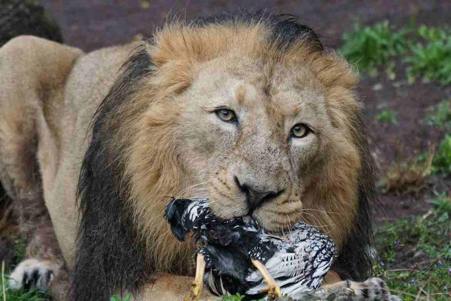 leone a caccia