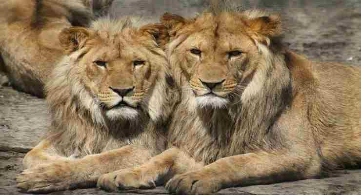 Leoni nello zoo (Foto Pixabay)