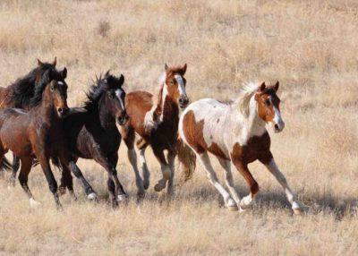 razze cavalli americani