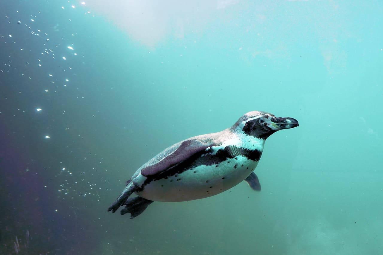Un pinguino che nuota (Foto Pixabay)