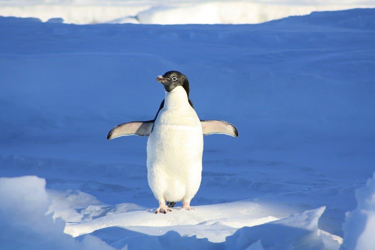 Il pinguino nel suo habitat naturale (Foto Pixabay)