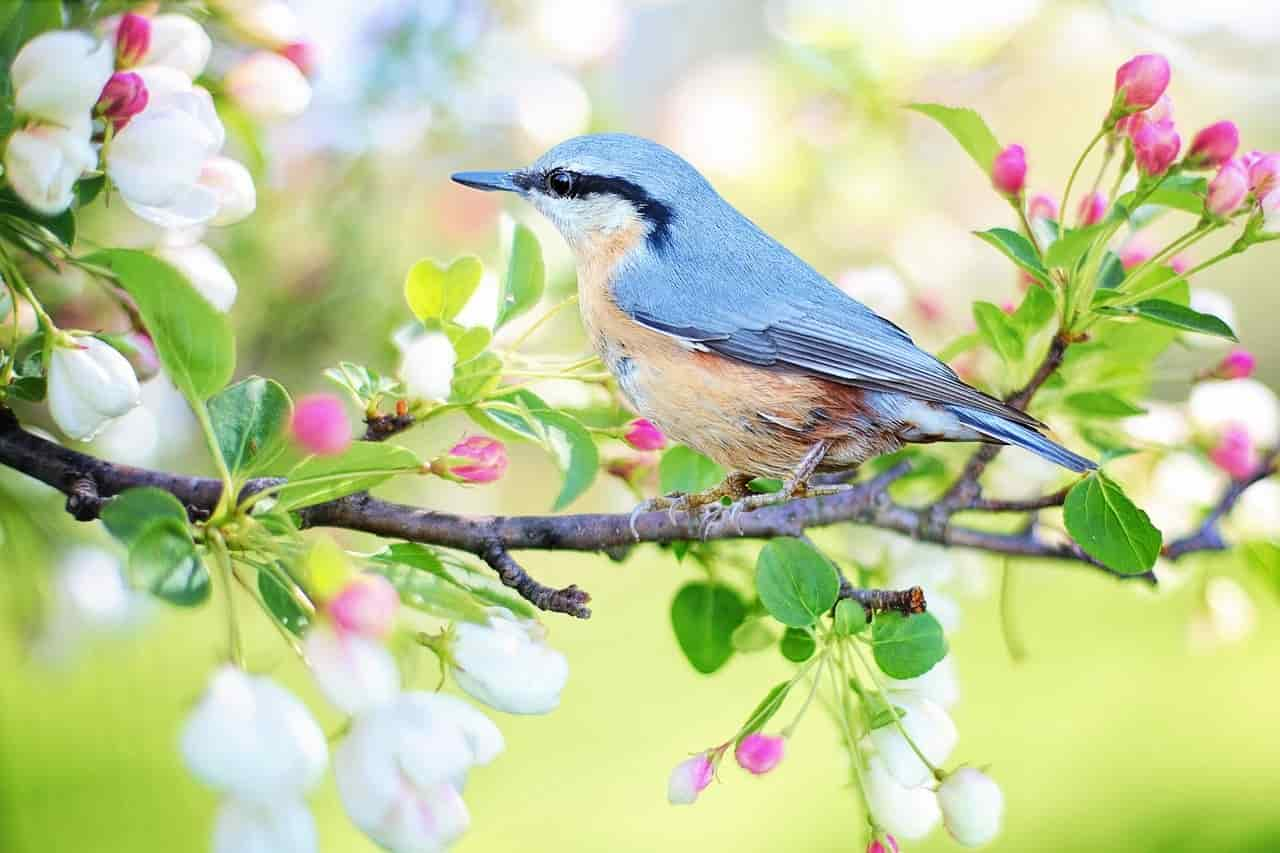 perche uccelli cantano