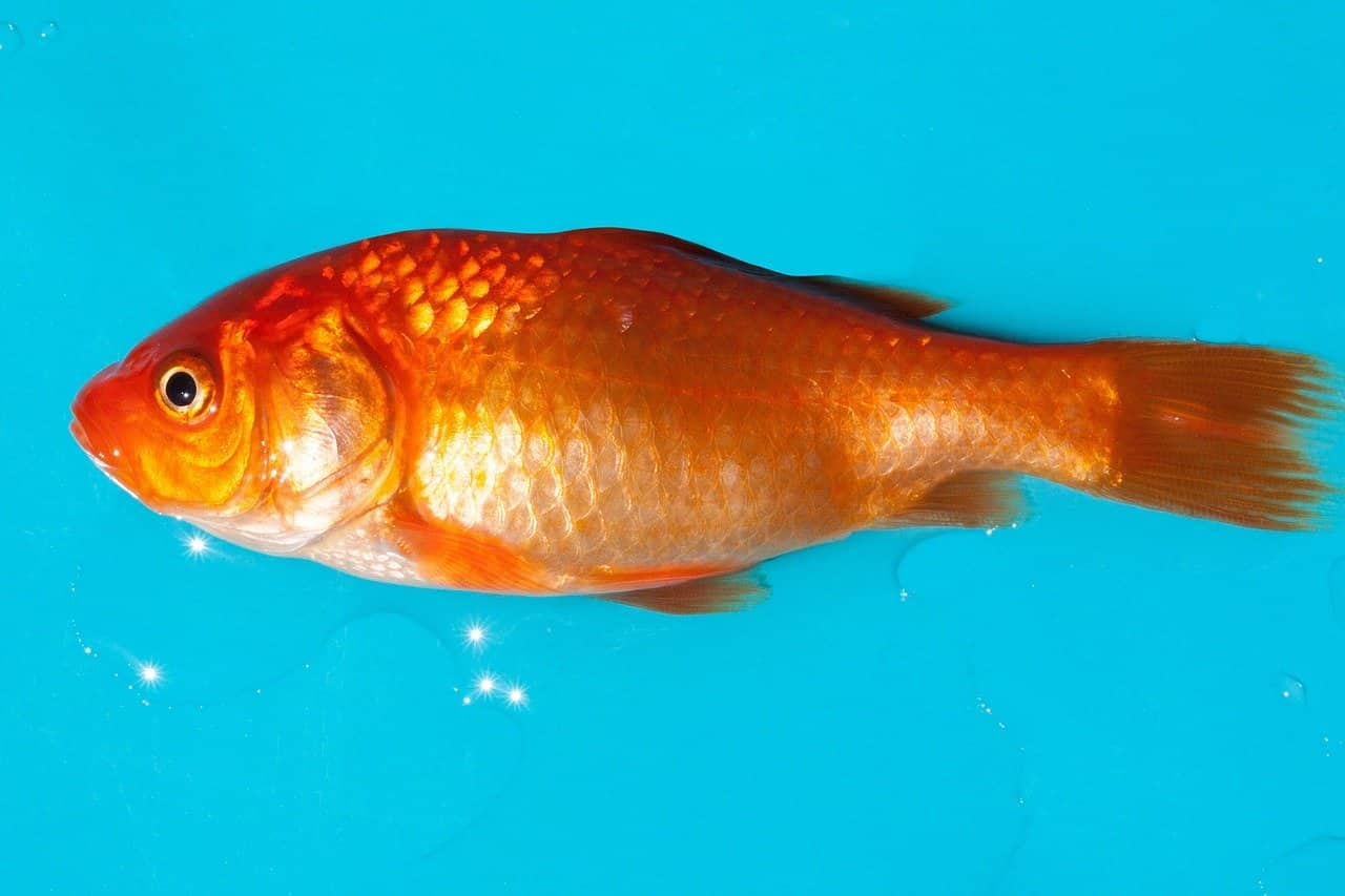 pesce rosso diventa bianco