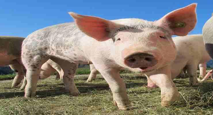 L'irresistibile tenerezza del maialino (Foto Pixabay)