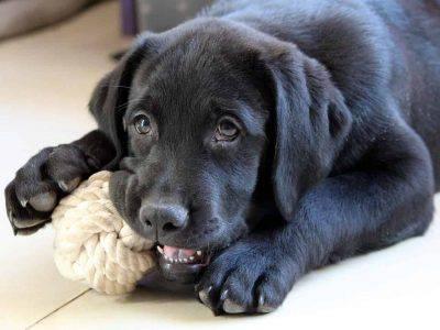 cane si addormenta con giocattolo in bocca