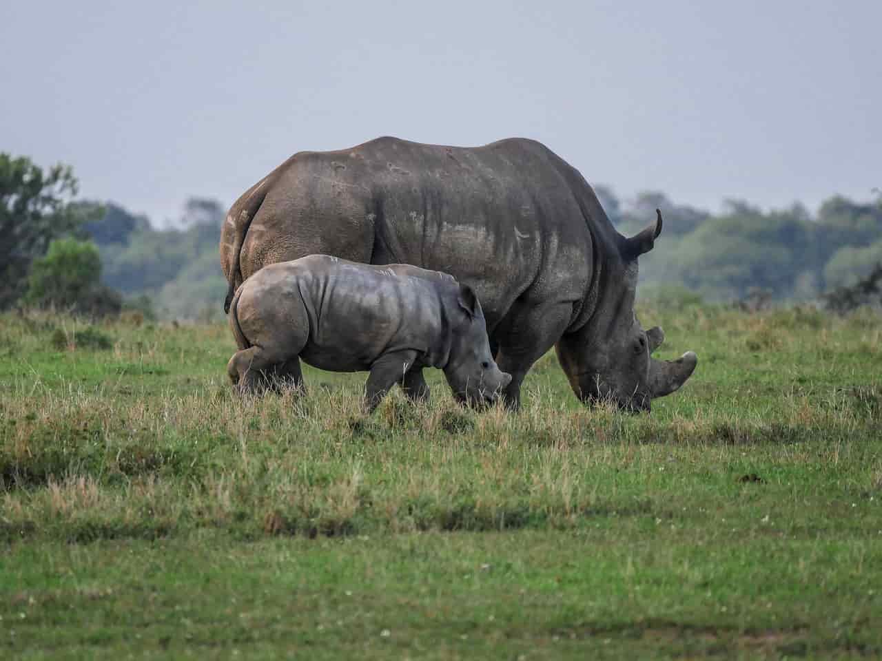 Rinoceronti a spasso (Foto Pixabay)
