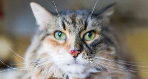 sangue dal naso gatto