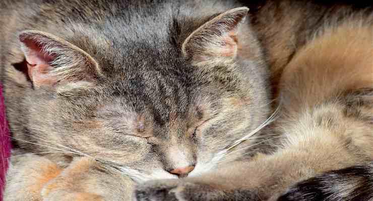 La dolcezza del gatto (Foto Pixabay)
