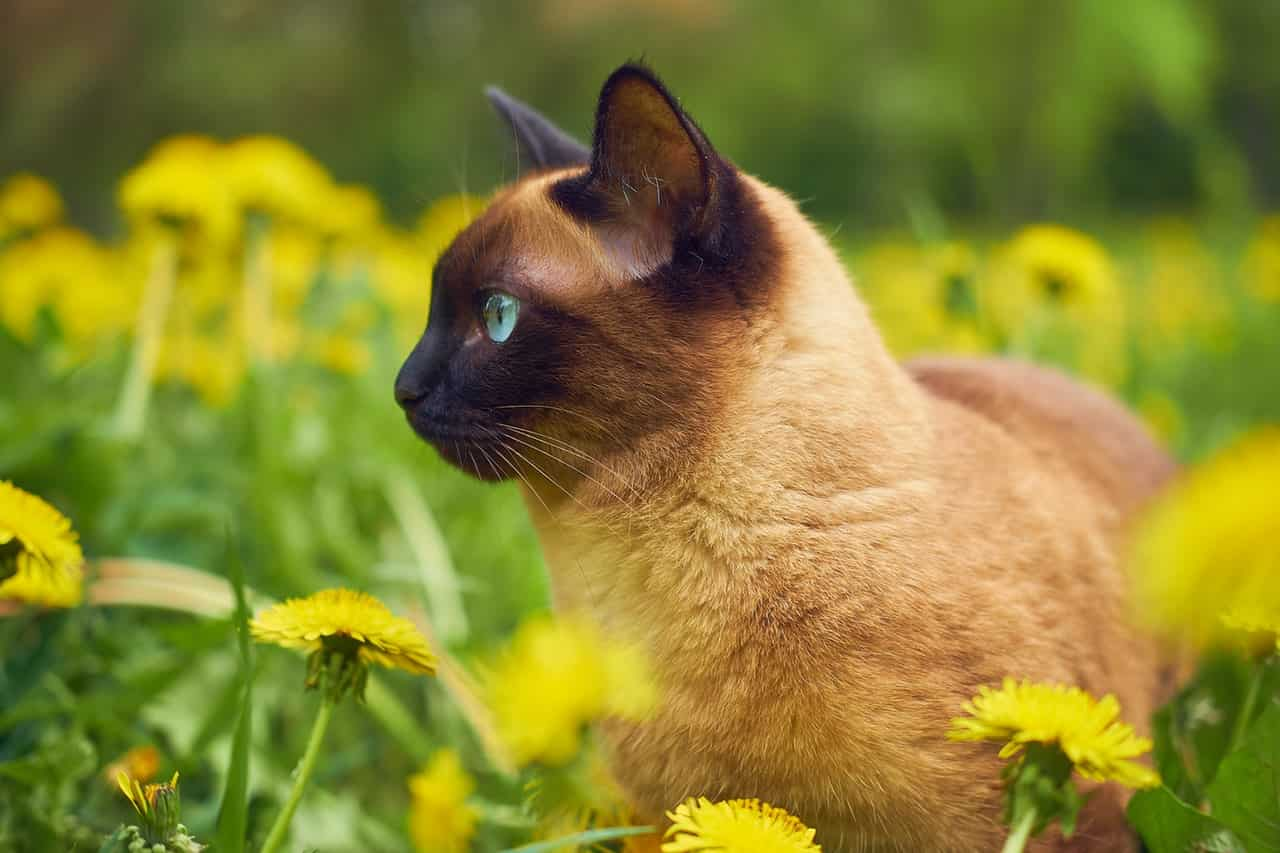 somministrazione gocce fiori gatto