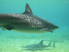 curiosita sugli squali