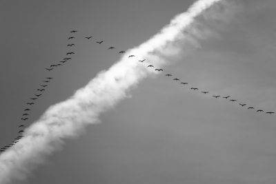stormo uccelli migratori disposizione V