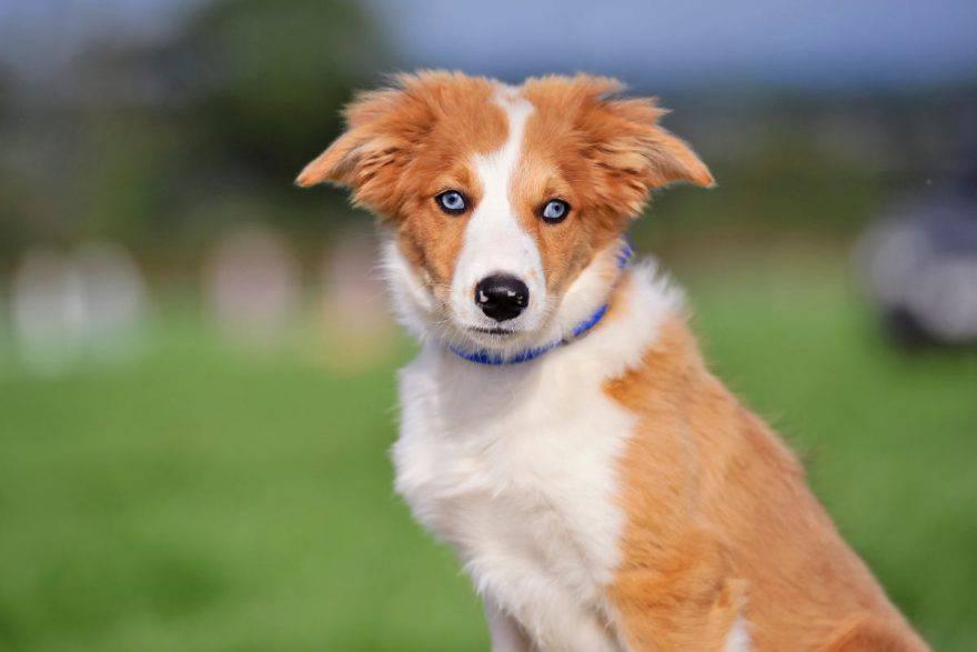 Strabismo nel cane
