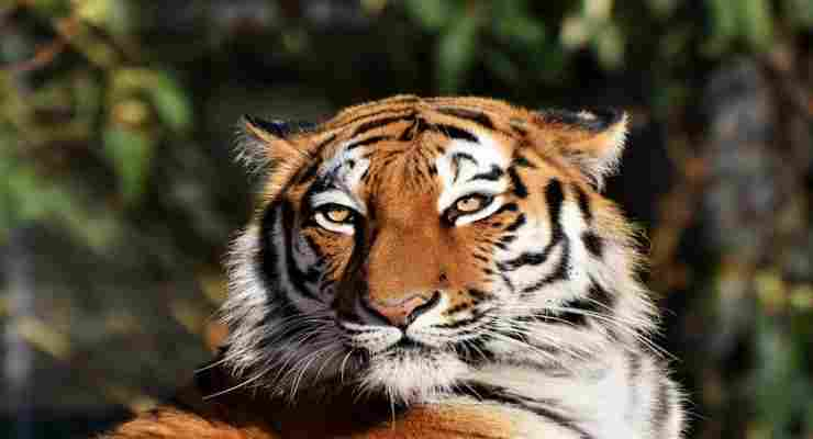 Il fascino della tigre in libertà (Foto Pixabay)
