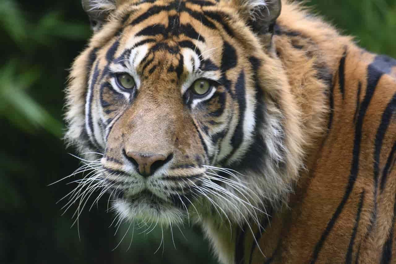 Tigre del Bengala in primo piano (Foto Pixabay)
