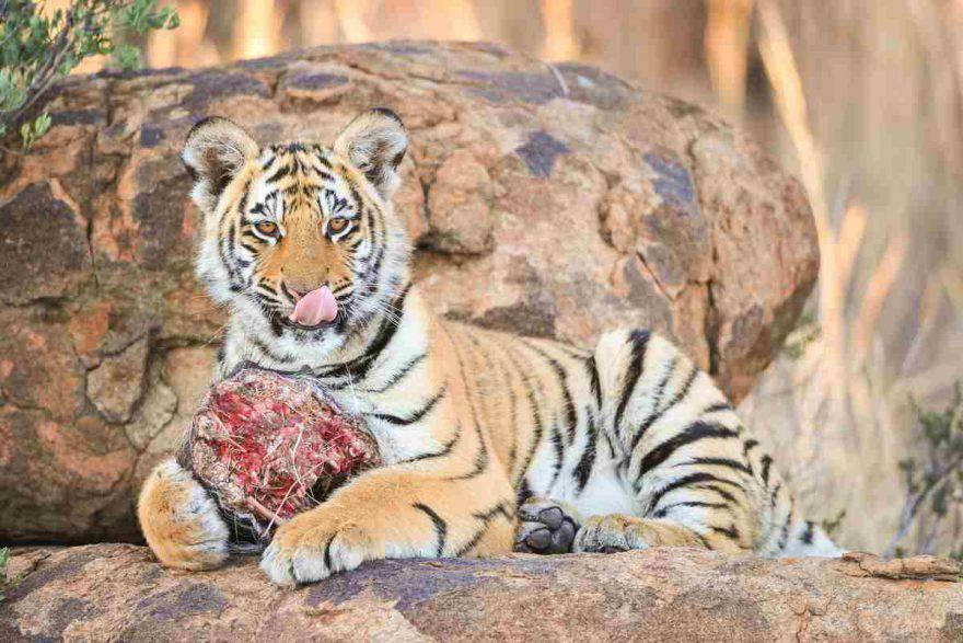 tigre che mangia
