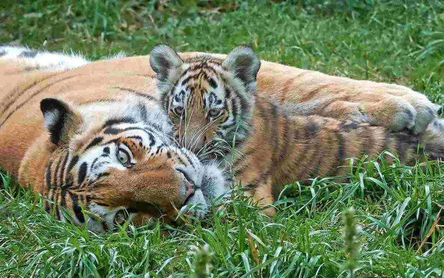 tigre con cucciolo