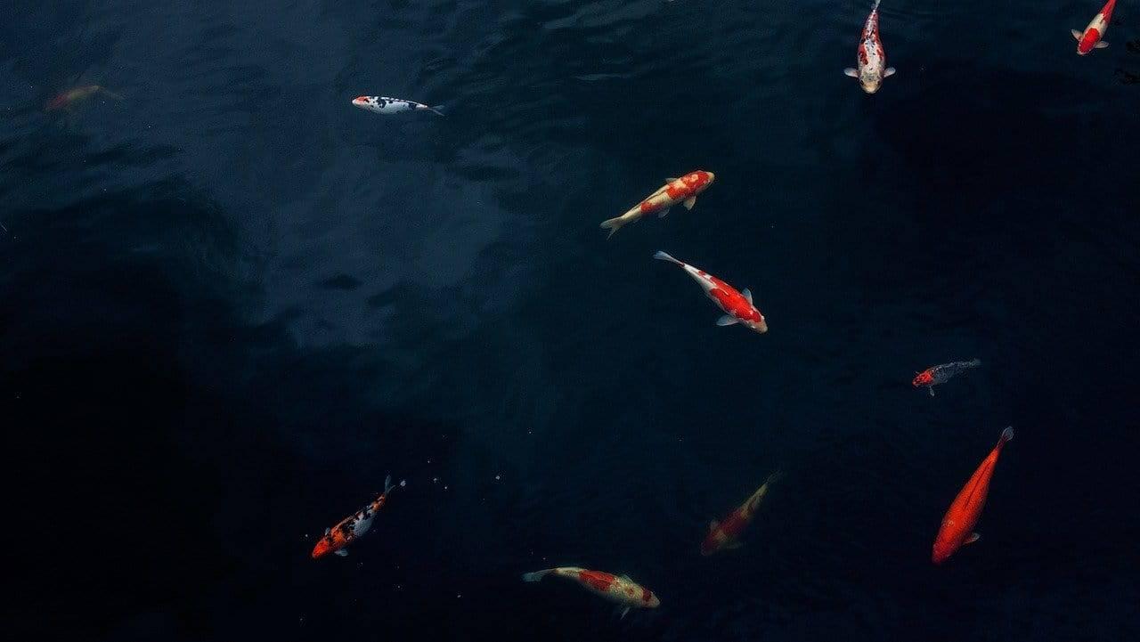 Pesci che nuotano (Foto Pixabay)