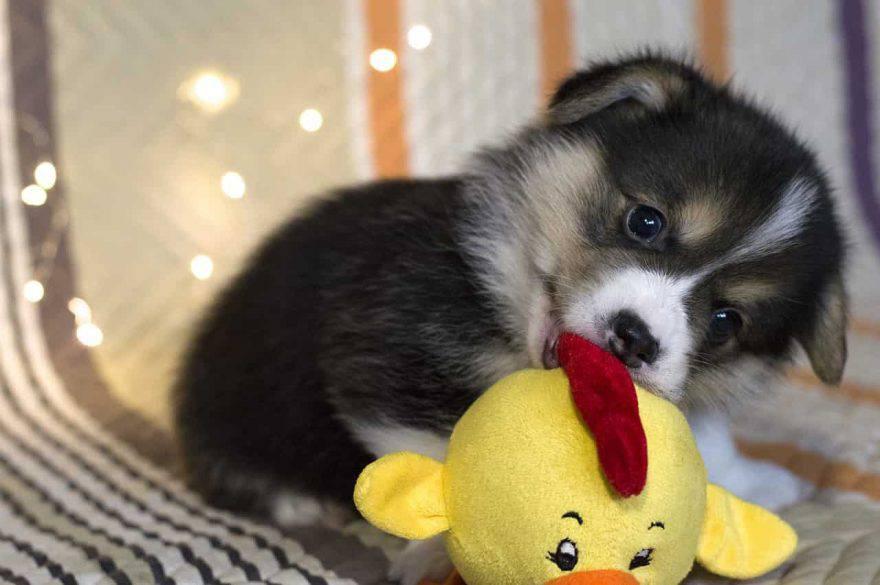 cucciolo cane giocattolo